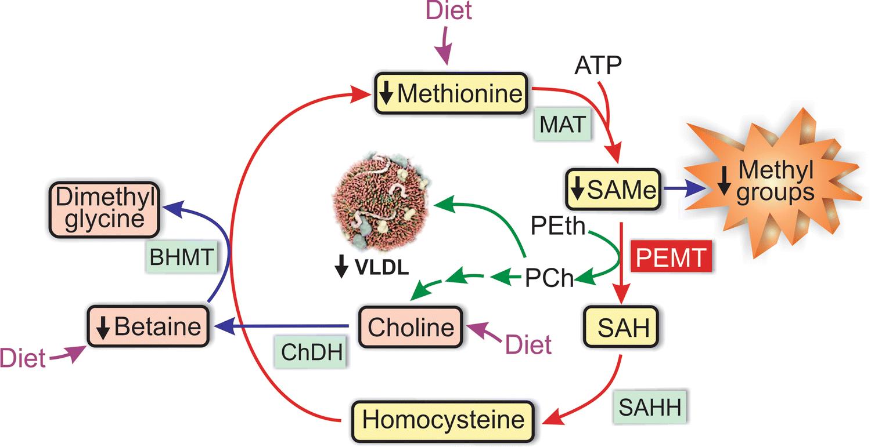 Molecular Pathways Of Nonalcoholic Fatty Liver Disease Development 1991 1992 Vw Fox 18 Fuse Box Diagram Open Image In New Window
