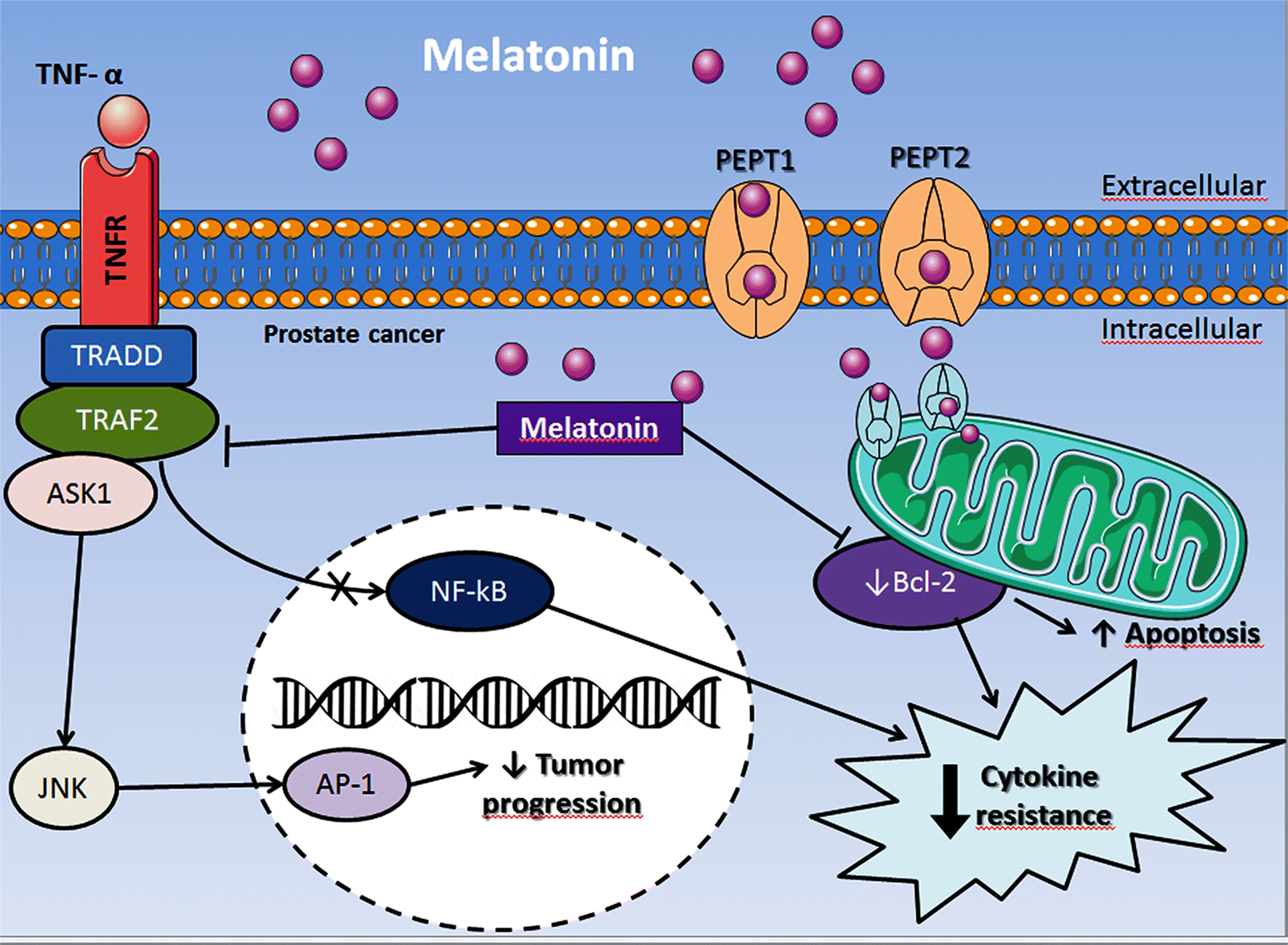Mitochondrial functions and melatonin: a tour of the