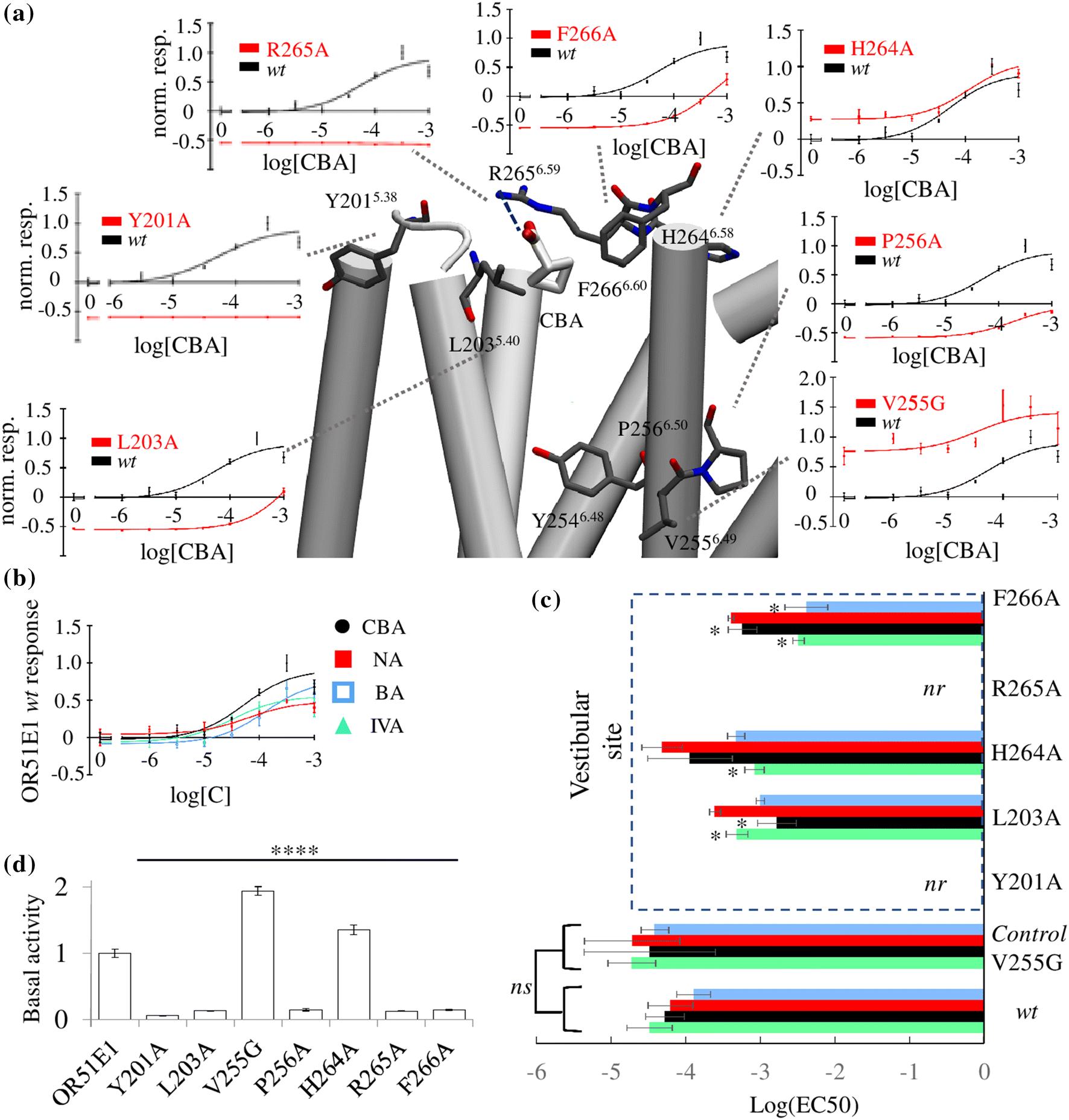 Mammalian class I odorant receptors exhibit a conserved vestibular