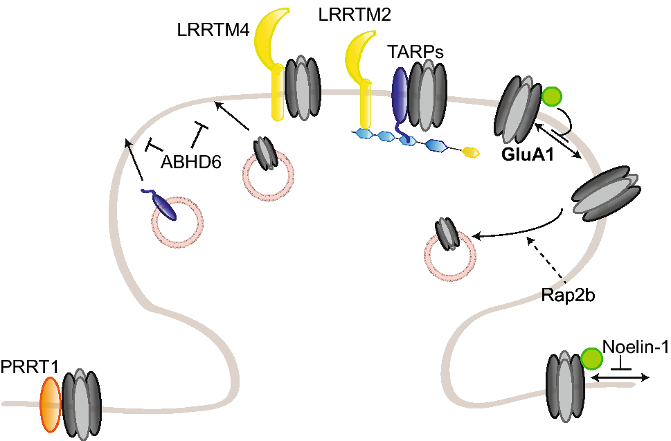 AMPA receptors and their minions: auxiliary proteins in AMPA