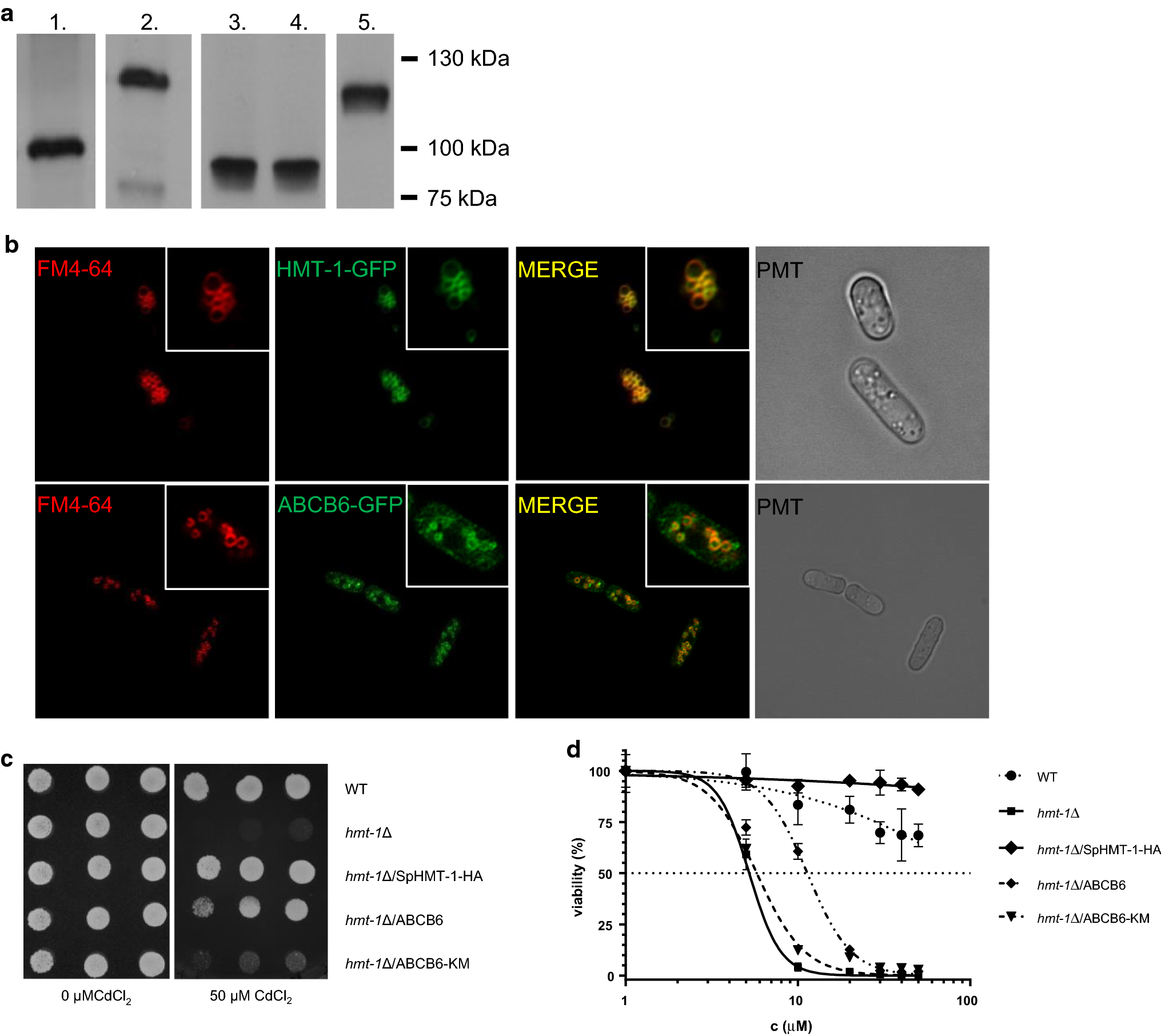 The human ABCB6 protein is the functional homologue of HMT-1