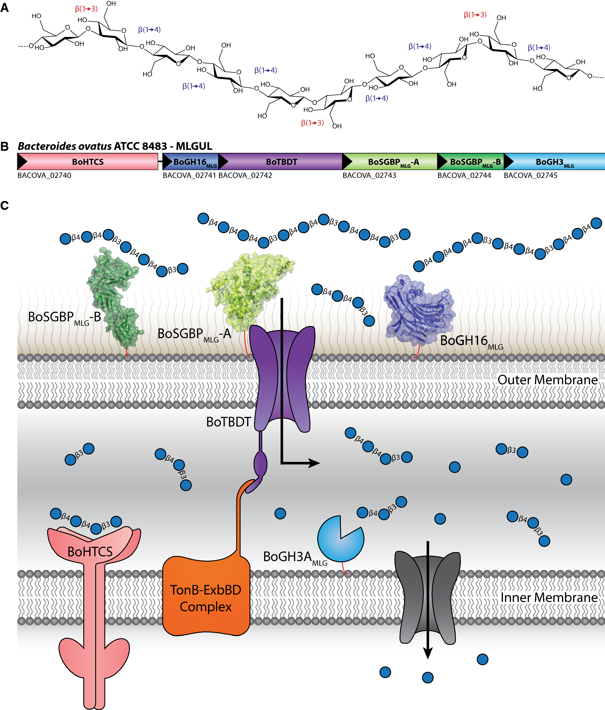 Surface glycan-binding proteins are essential for cereal beta-glucan