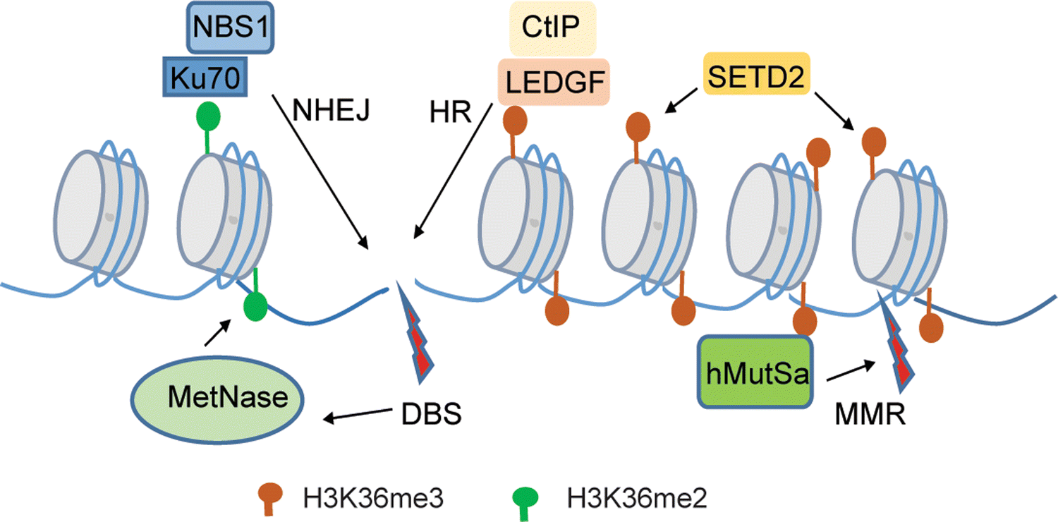 Understanding histone H3 lysine 36 methylation and its