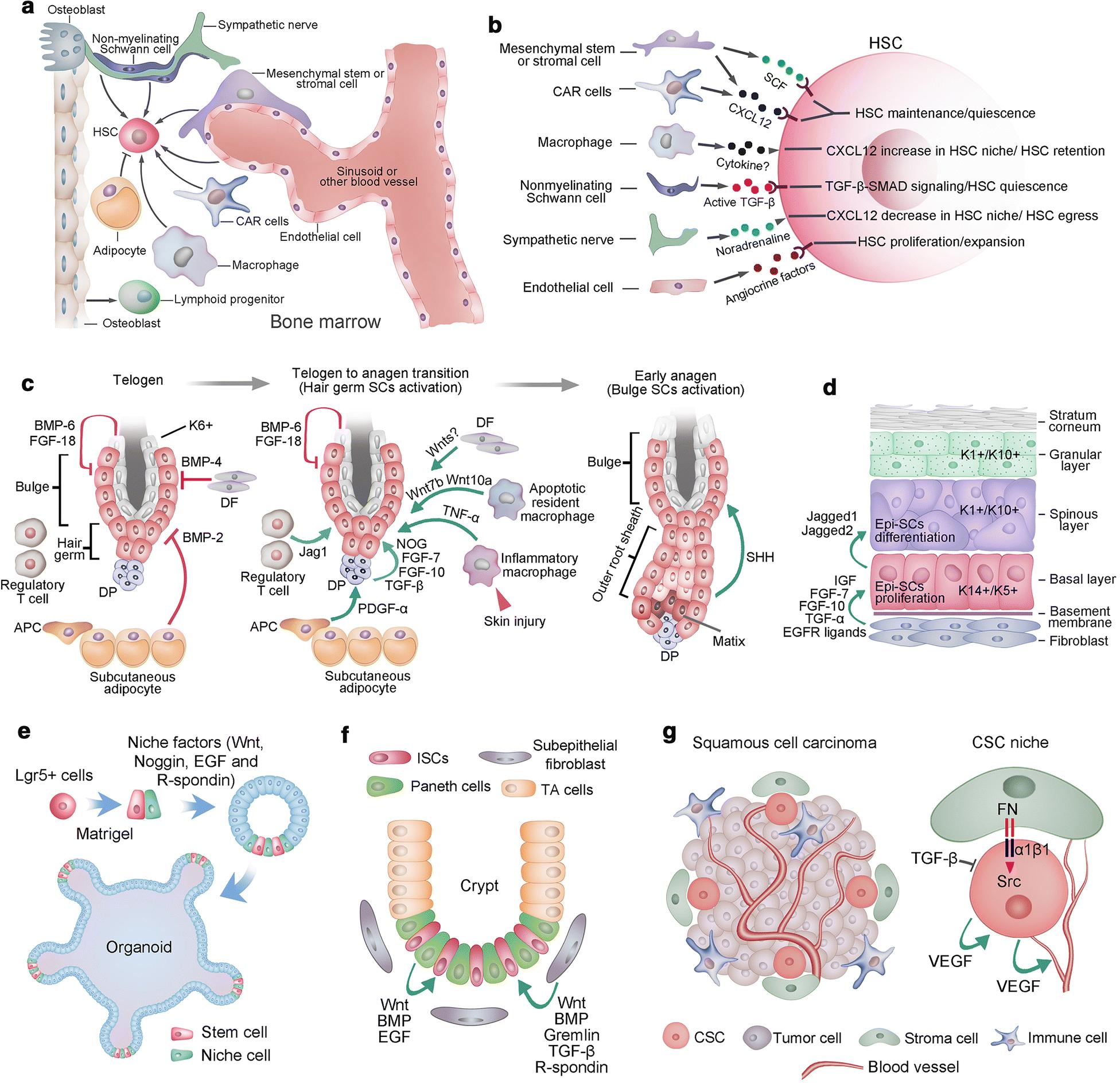 Stem cells in tissues, organoids, and cancers | SpringerLink