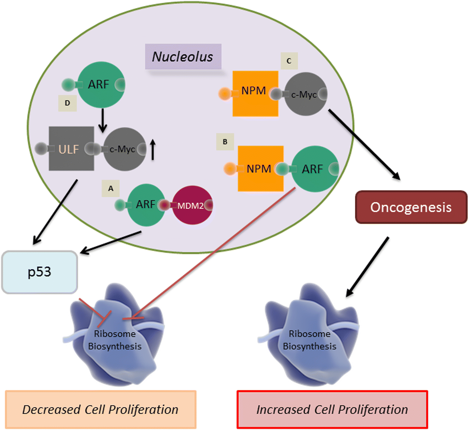 The nucleolus: a central response hub for the stressors that