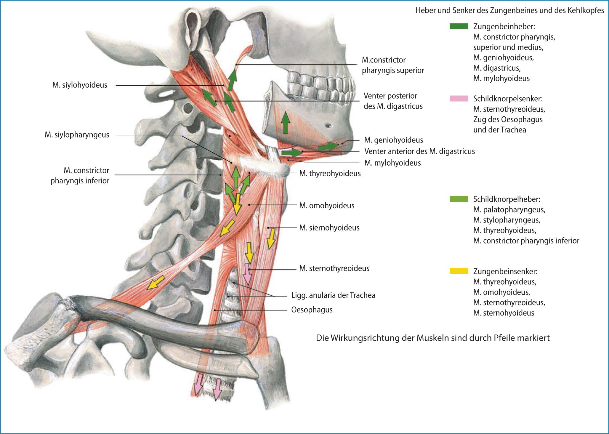 Wunderbar Hals Anatomie Knochen Ideen - Menschliche Anatomie Bilder ...