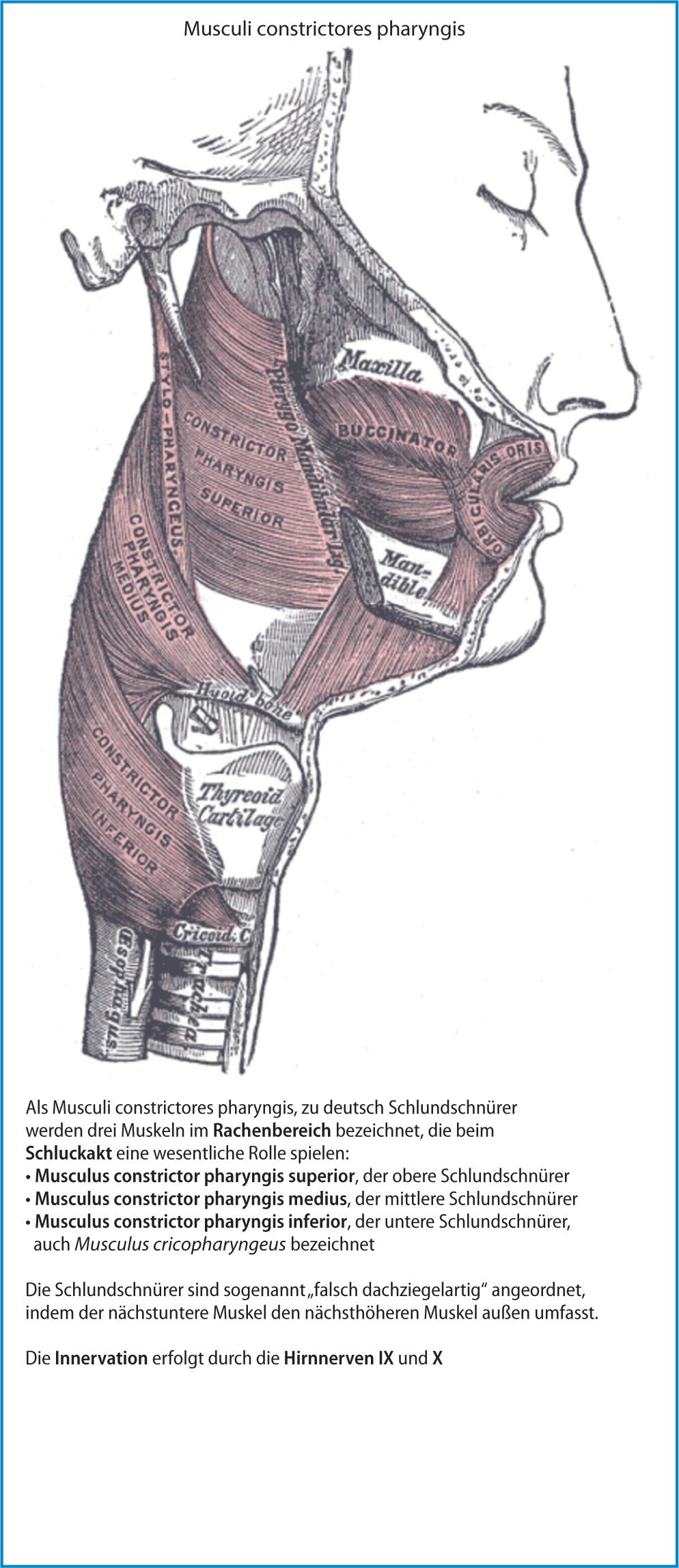 Ausgezeichnet Muskeln Von Kopf Und Hals Fotos - Menschliche Anatomie ...