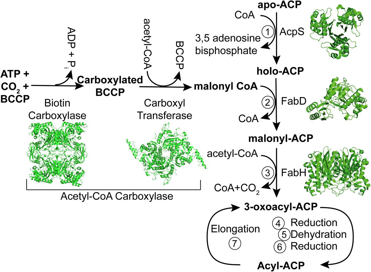 Acyl-coenzyme A:(holo-acyl carrier protein) transacylase