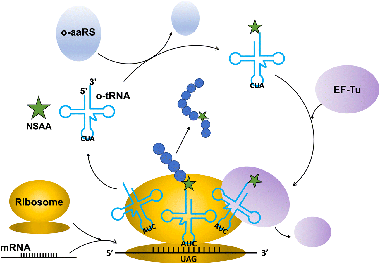 Incorporation of non-standard amino acids into proteins: challenges