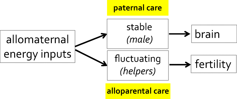 Allomaternal care, brains and fertility in mammals: who