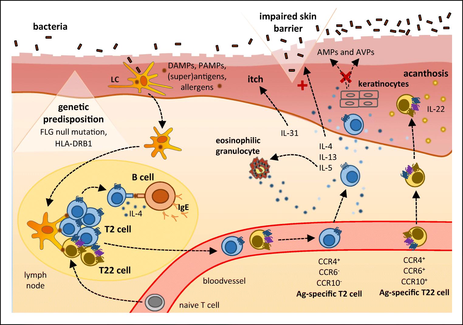 T cell pathology in skin inflammation | SpringerLink