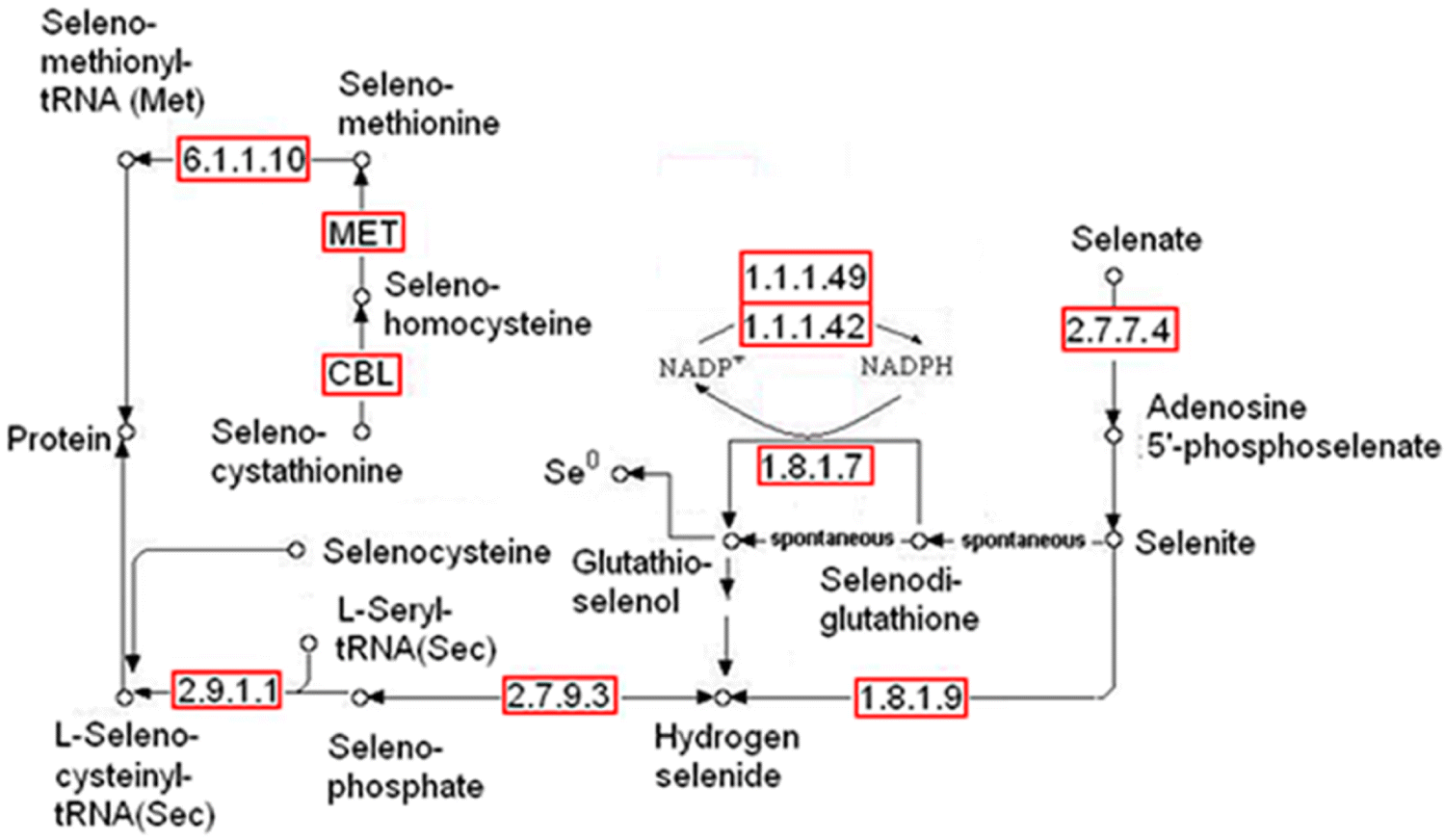 Selenate Reduction and Selenium Enrichment of Tea by the Endophytic