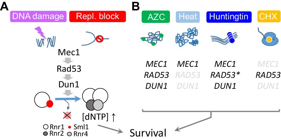 Versatility of the Mec1ATM/ATR signaling network in mediating