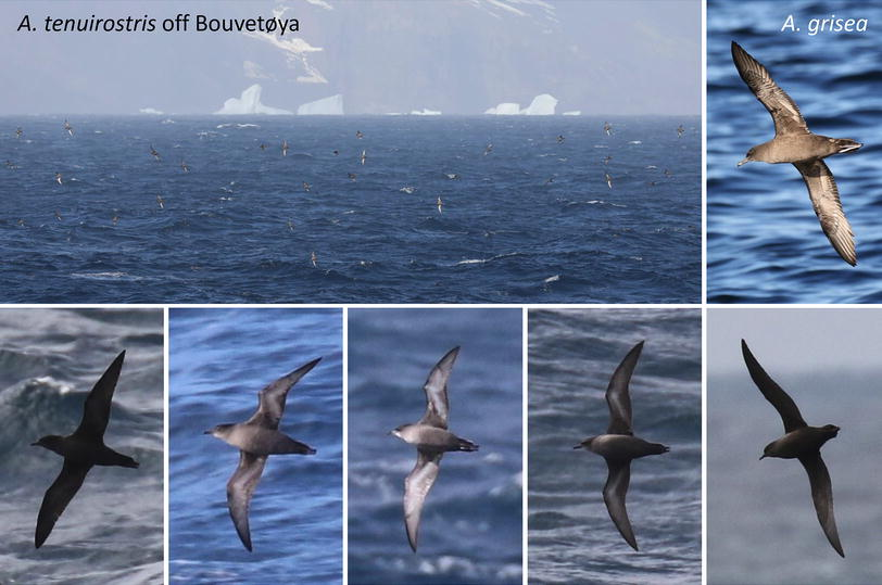 Westward range extension of Short-tailed Shearwaters Ardenna