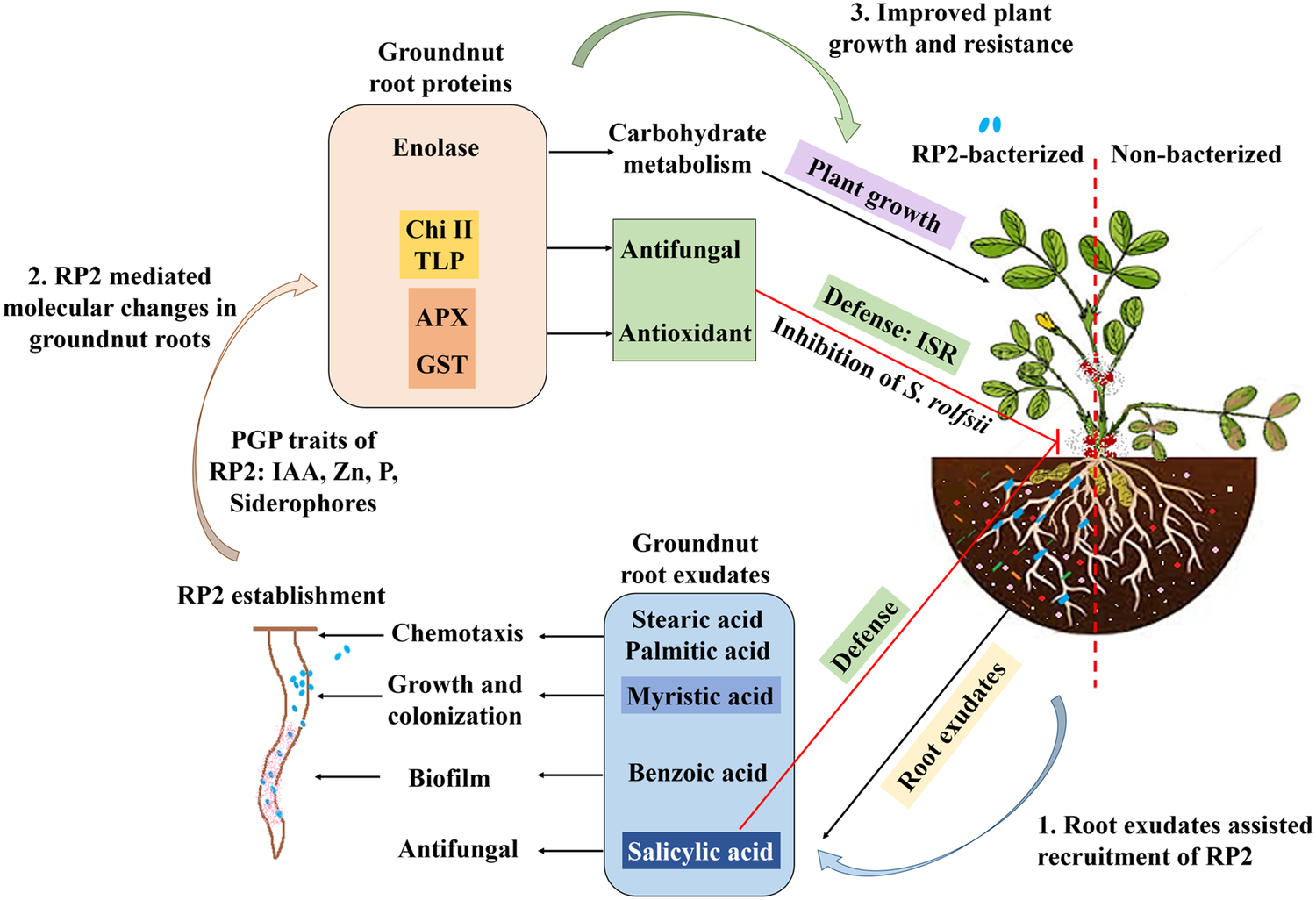 Changes in Root Exudates and Root Proteins in Groundnut– Pseudomonas