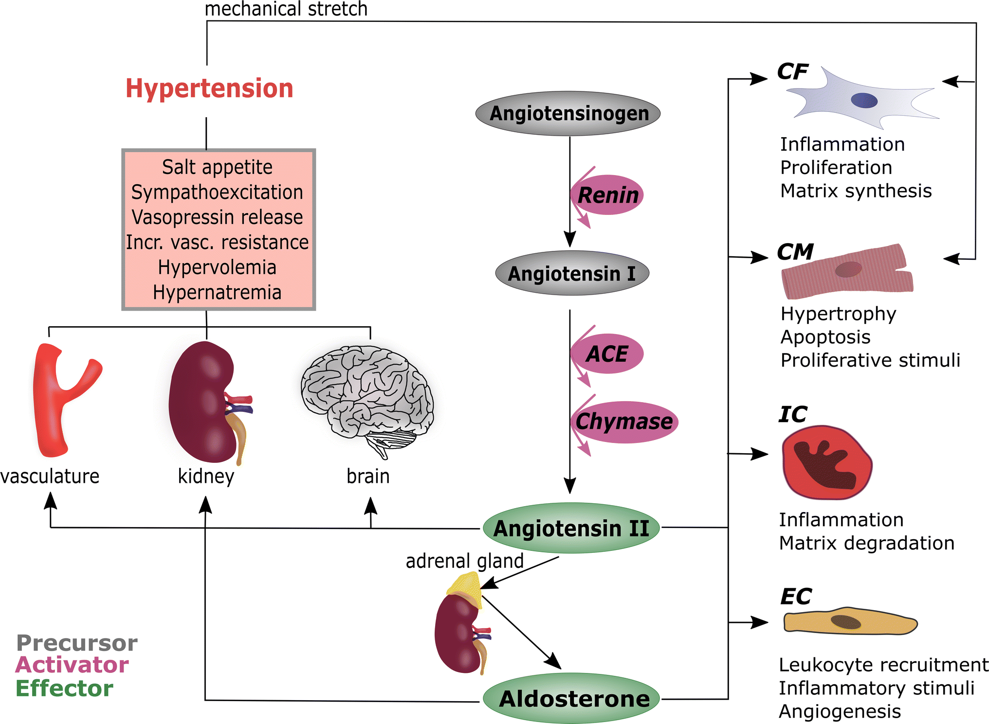 03972c3c4aac Inflammation and fibrosis in murine models of heart failure ...