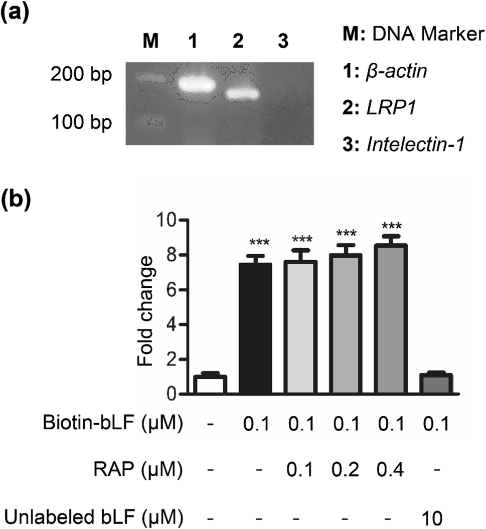 Lactoferrin Promotes Hair Growth In Mice And Increases
