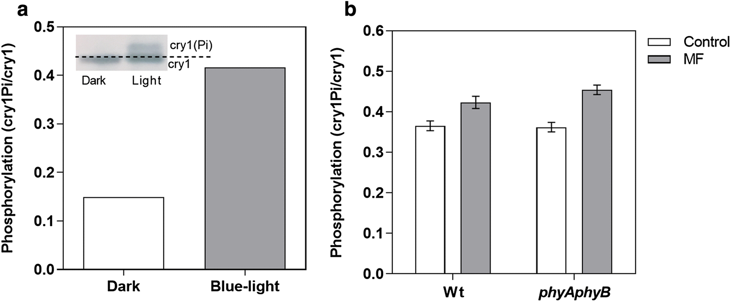 Magnetic Sensitivity Mediated By The Arabidopsis Blue Light Receptor Weak Signal Amplifier Circuit Diagram Composed Of Magnetosensitive Open Image In New Window