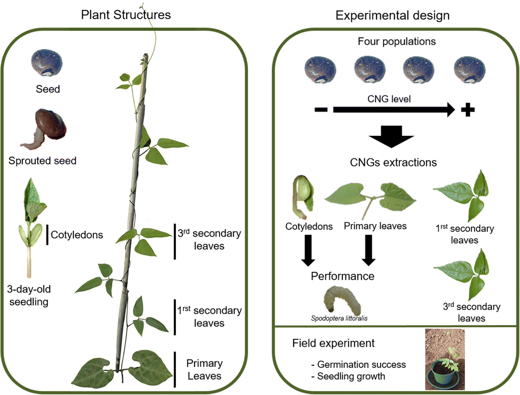 Role of cyanogenic glycosides in the seeds of wild lima bean
