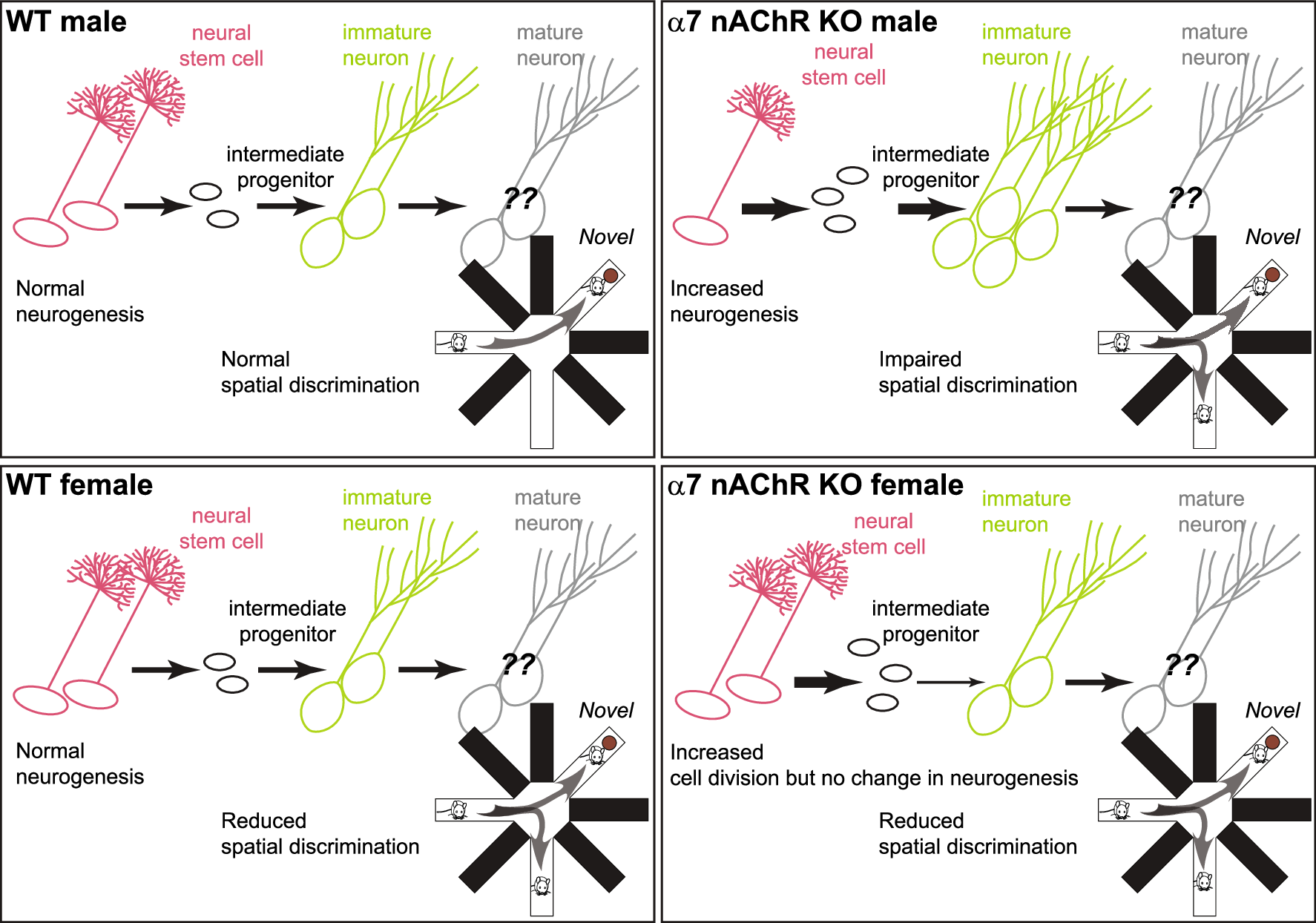 The α7 nicotinic acetylcholine receptors regulate