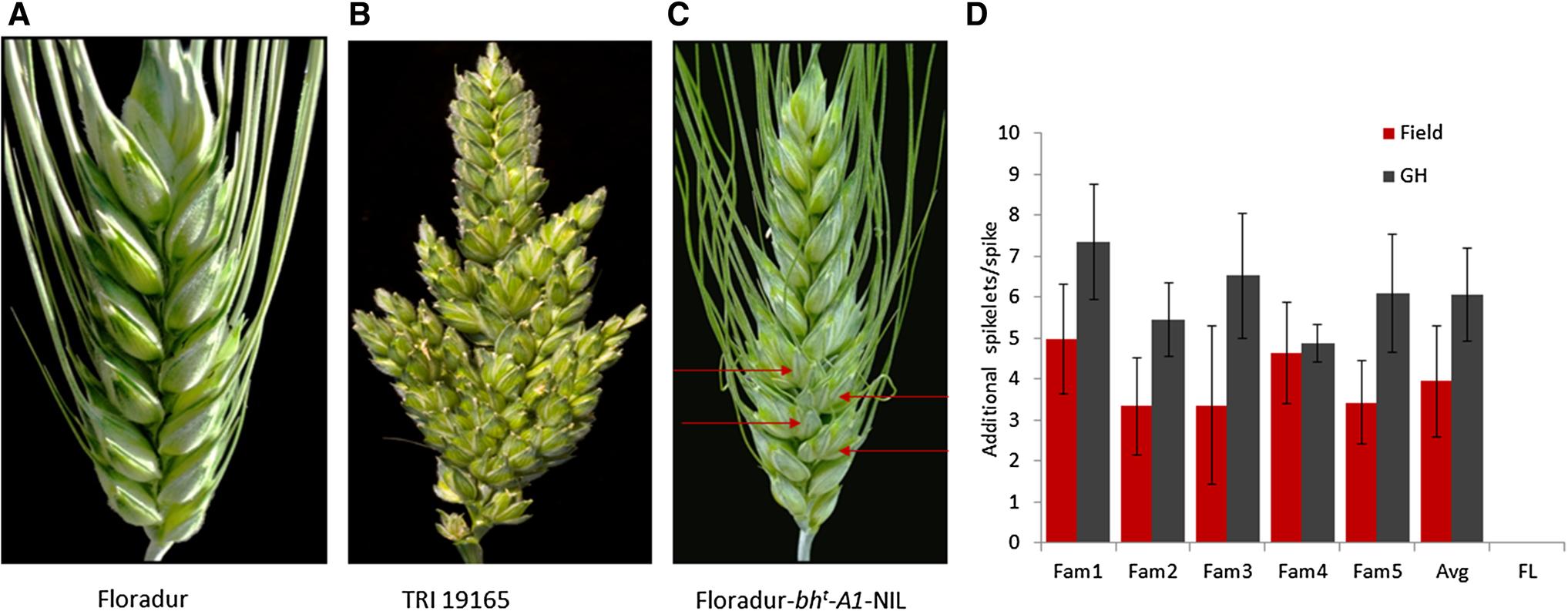 Genetic modification of spikelet arrangement in wheat increases
