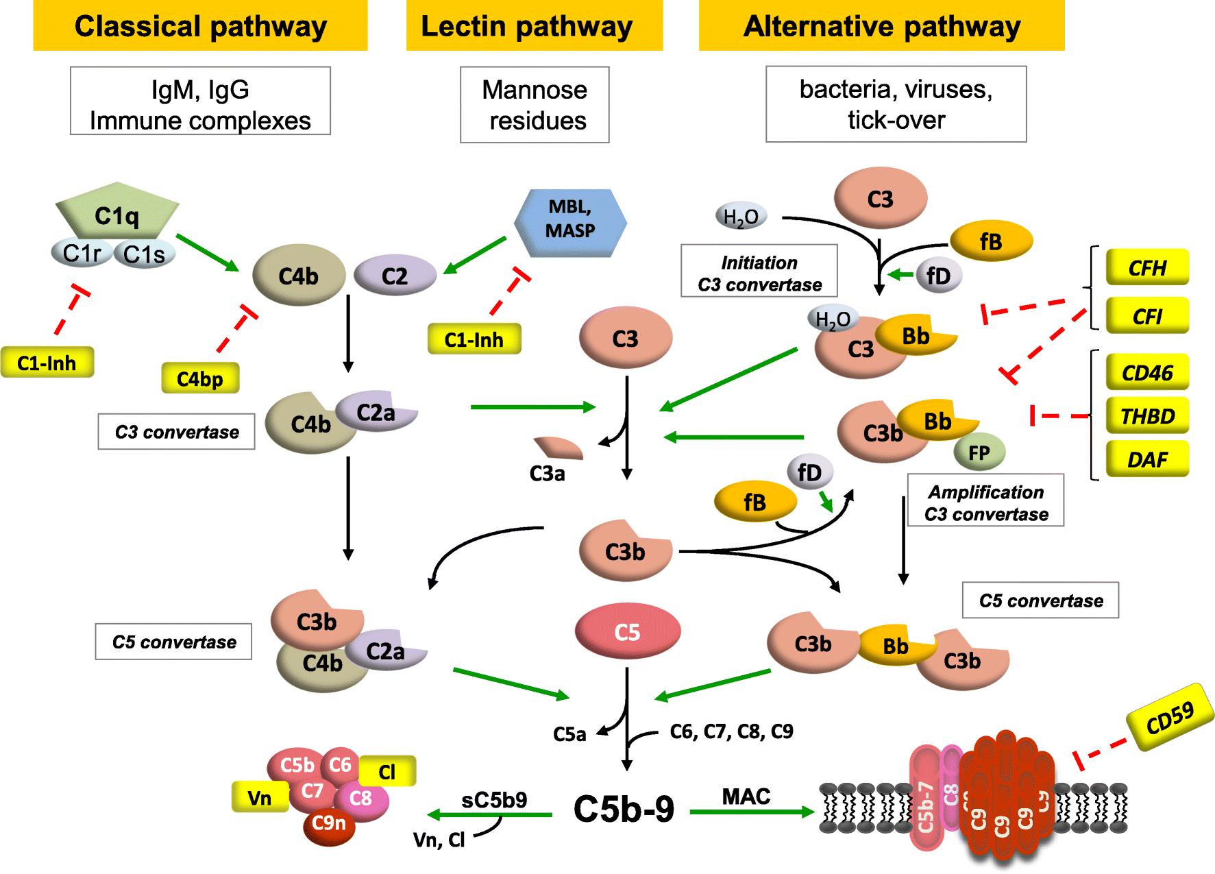 autoimmune abnormalities of the alternative complement  torh%c3%83%c2%bcter c 45 #2