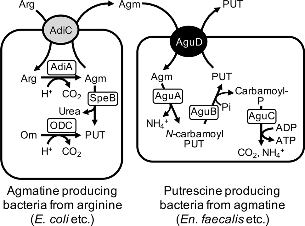The therapeutic and nutraceutical potential of agmatine, and its