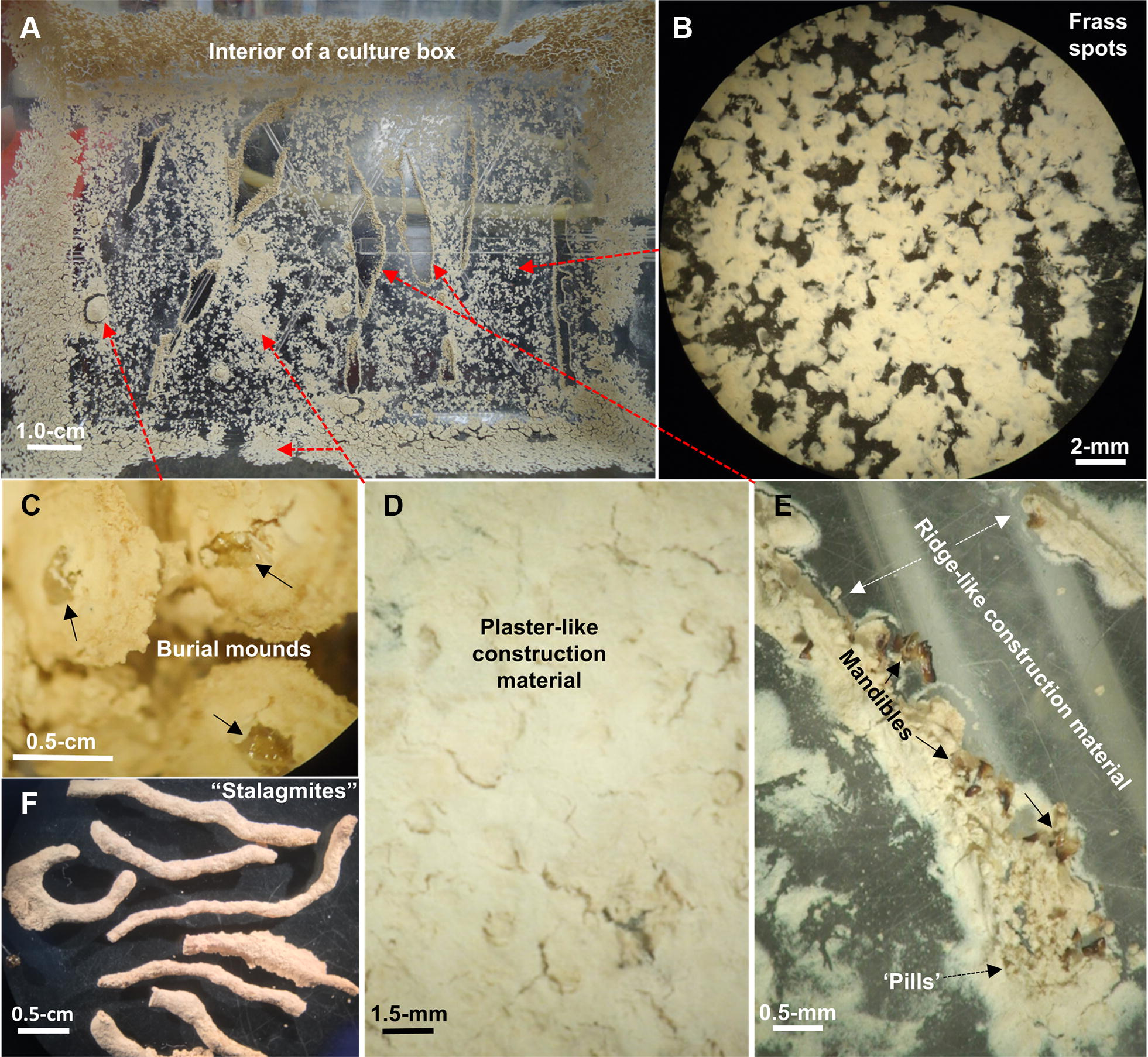 Evidence for the Role of Subterranean Termites