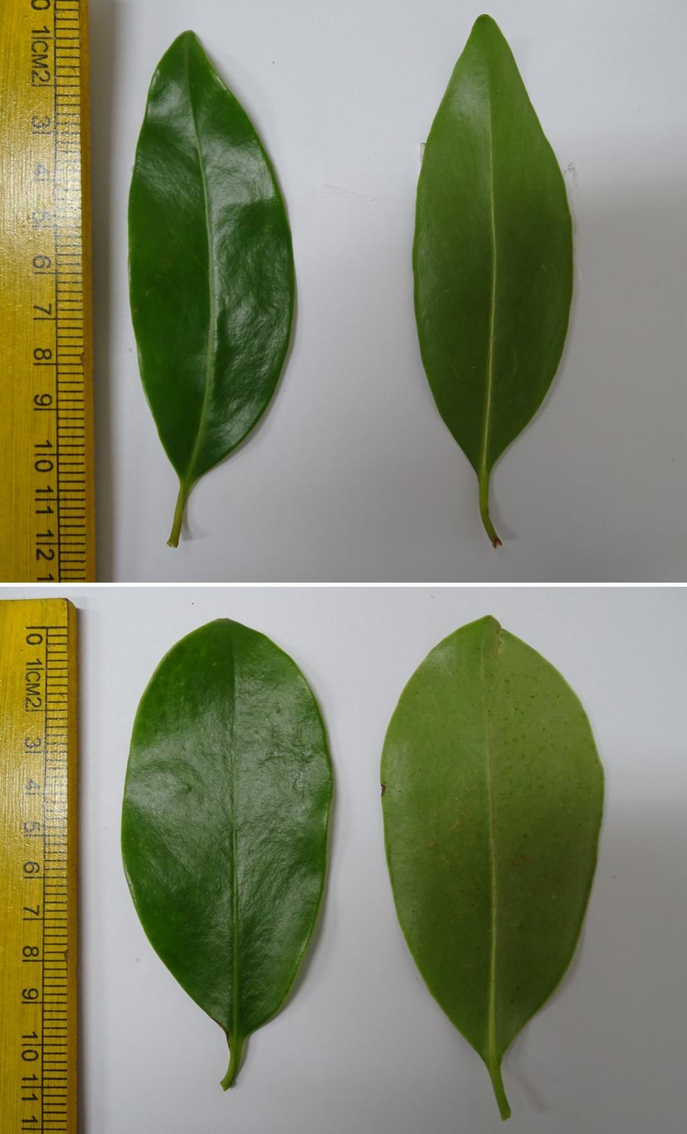 Morphological and Biochemical Studies in Garcinia gummi