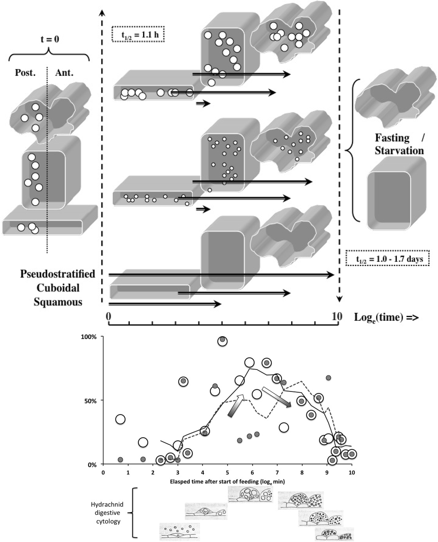 The gut epithelium from feeding to fasting in the predatory soil
