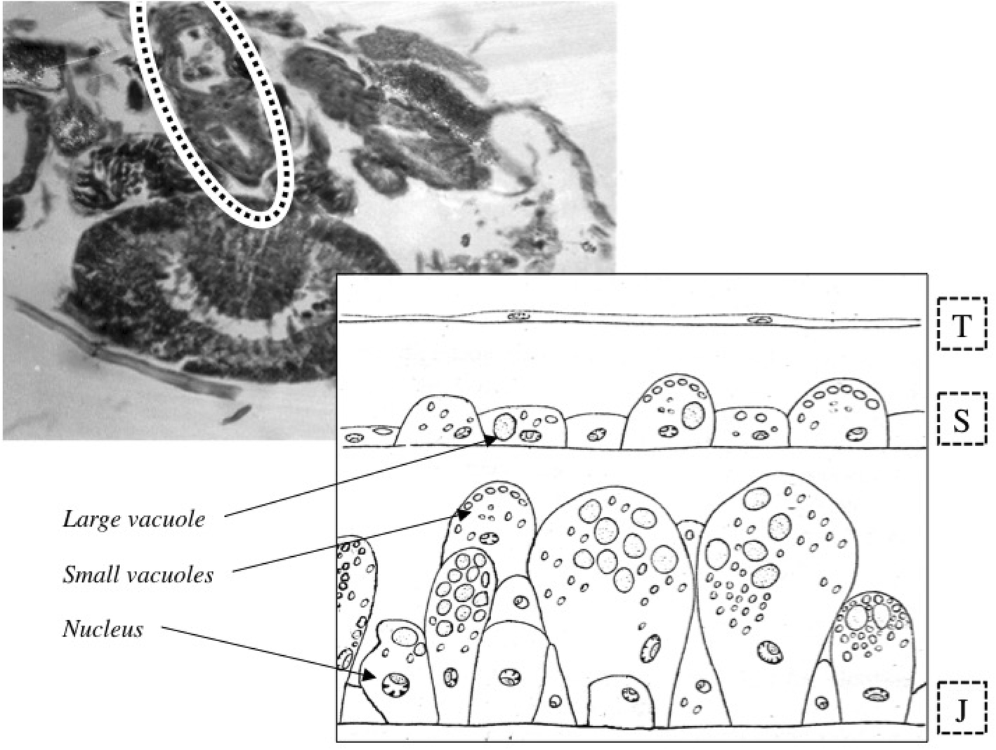 The gut epithelium from feeding to fasting in the predatory