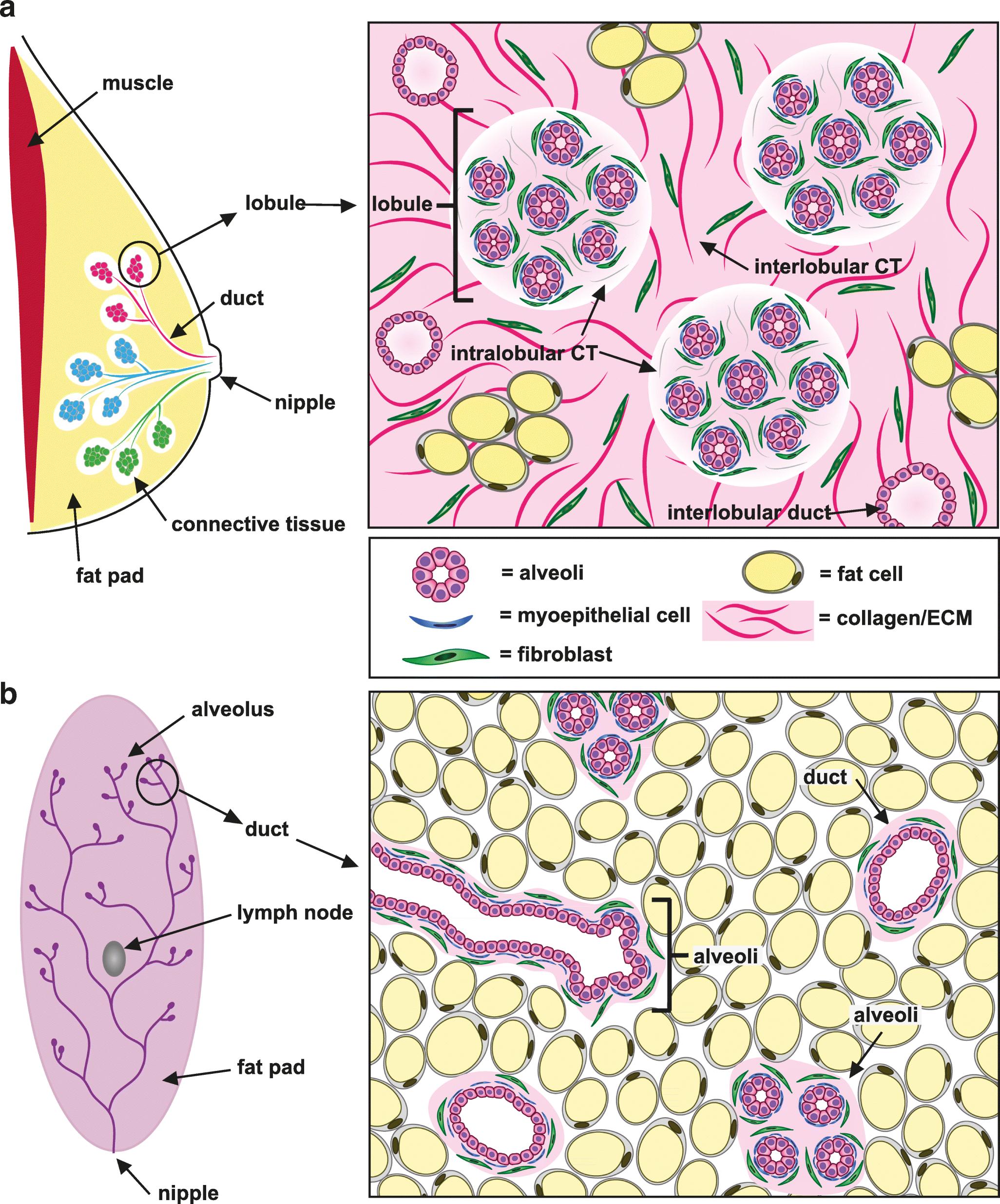 Cancer-associated fibroblasts as key regulators of the breast cancer ... 9f4b67d8e19dc