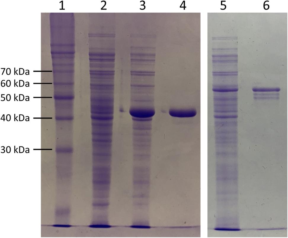 One-Pot Preparation of d-Amino Aci ds Through Biocatalytic