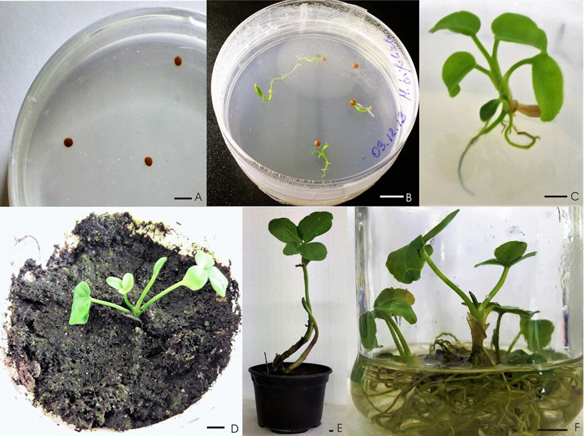 Induction of apoptosis by in vitro and in vivo plant