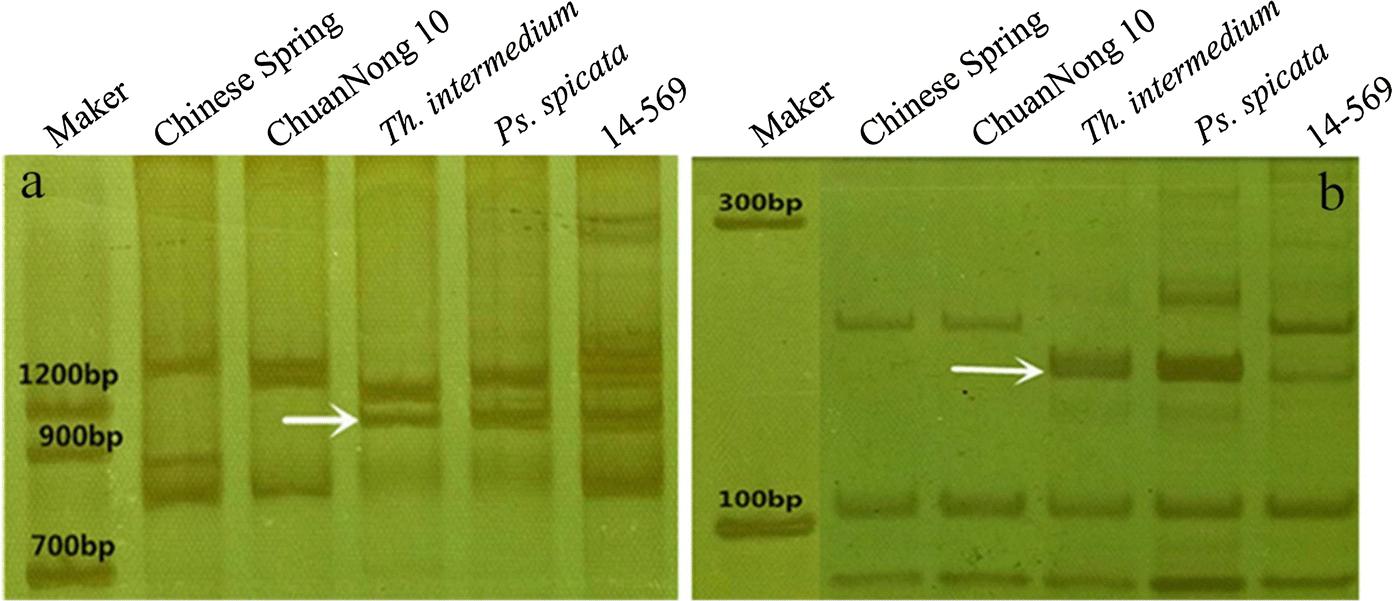 Disomic chromosome addition from Thinopyrum intermedium to