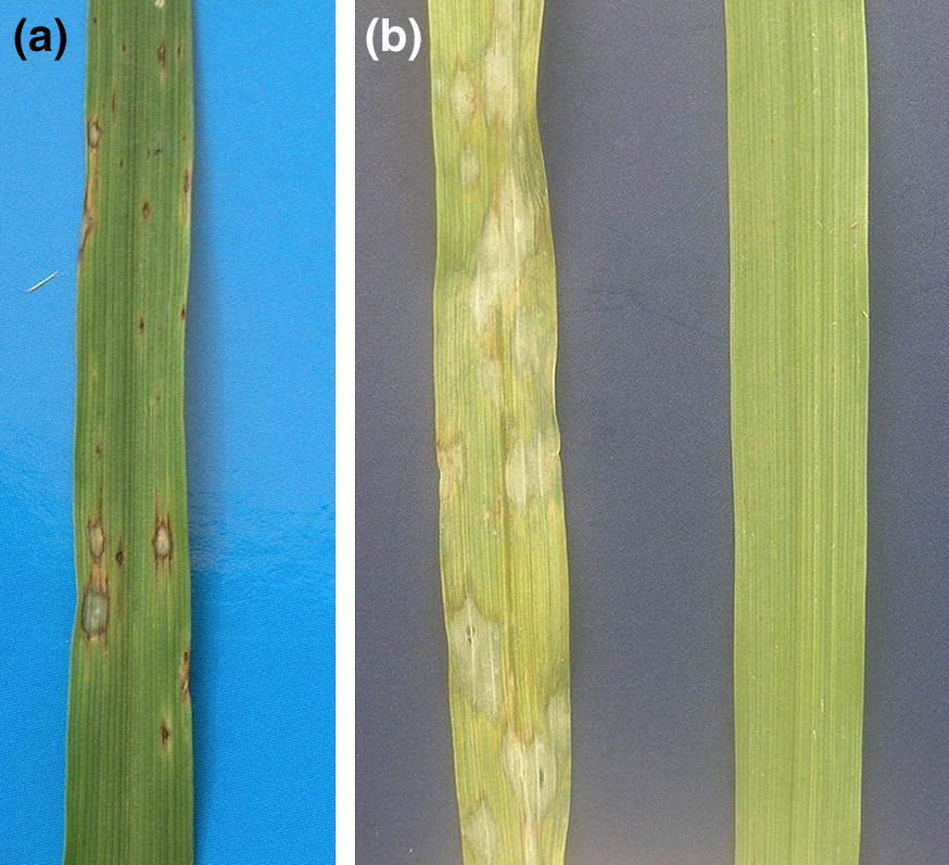 Host Nonhost Status And Genetics Of Resistance In Barley