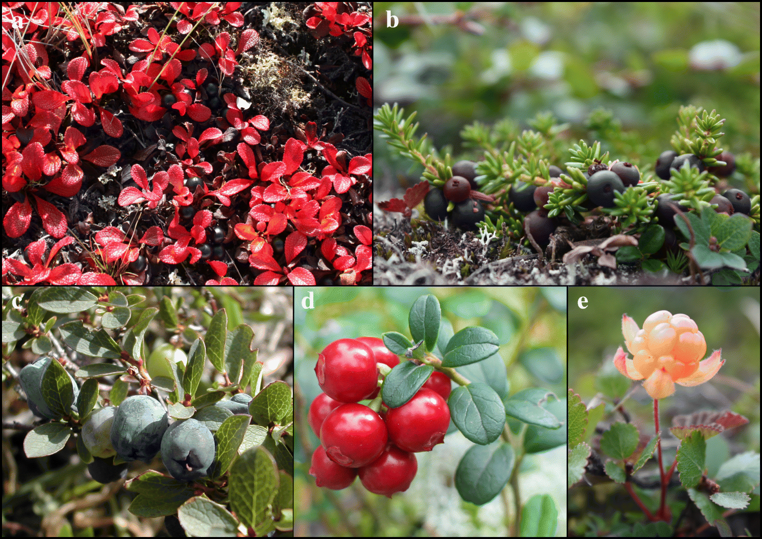 Berry Plants and Berry Picking in Inuit Nunangat: Traditions