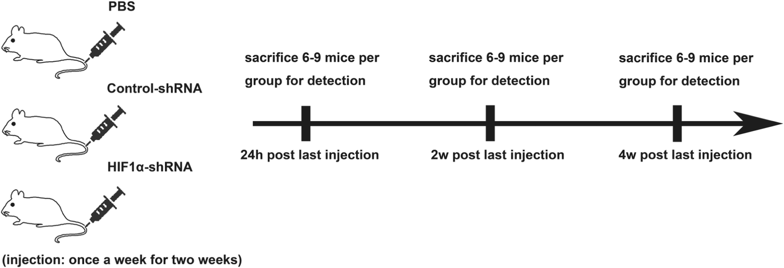 Rnai Silencing Of Hif 1α Ameliorates Lupus Development In