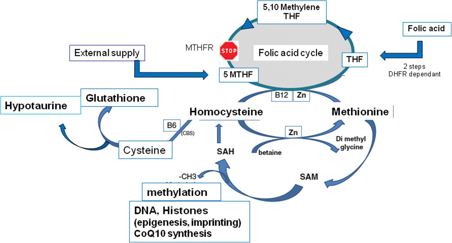 MTHFR isoform carriers  5-MTHF (5-methyl tetrahydrofolate) vs folic