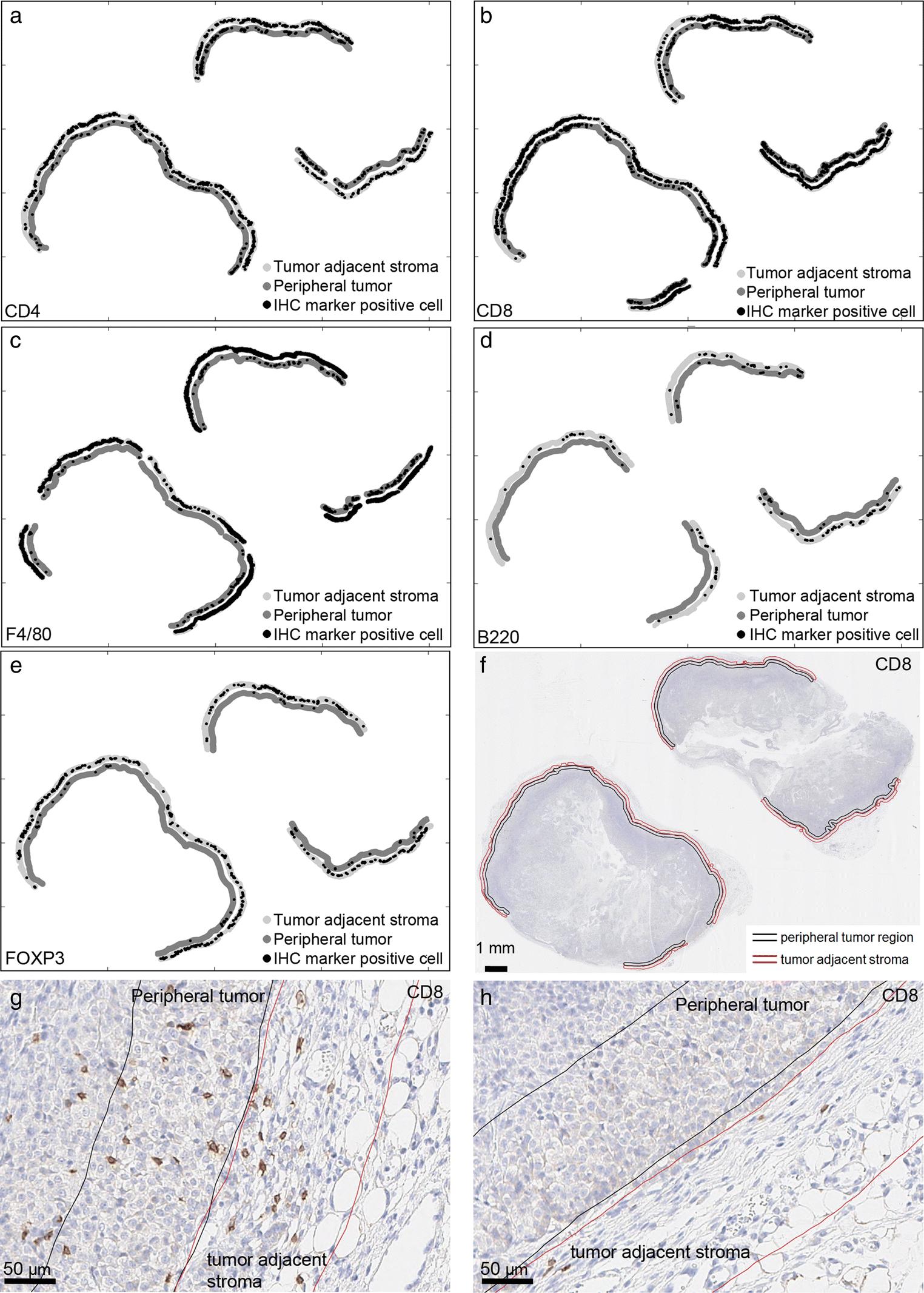 A Syngeneic ErbB2 Mammary Cancer Model for Preclinical