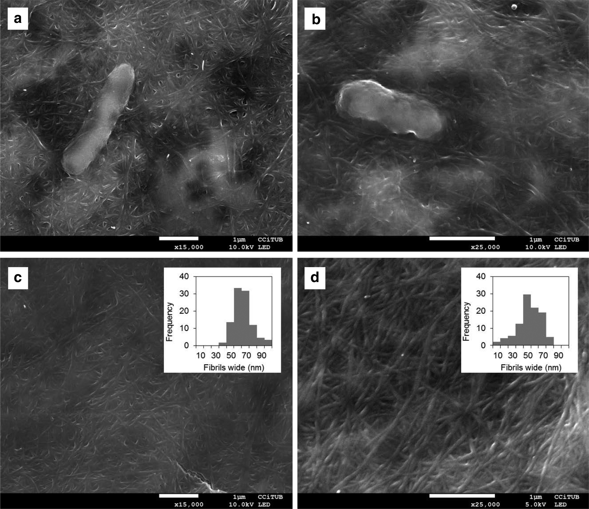 Microbial Cellulose from a Komagataeibacter intermedius Strain