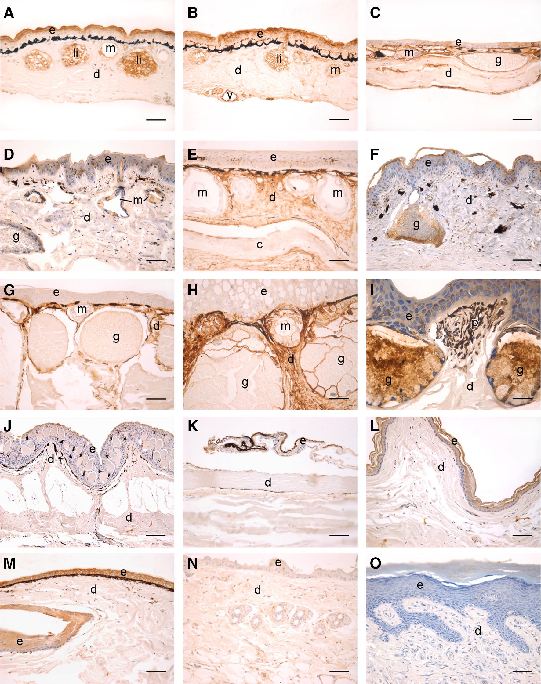 The Amphibian Diacylglycerol O-acyltransferase 2 (DGAT2): a