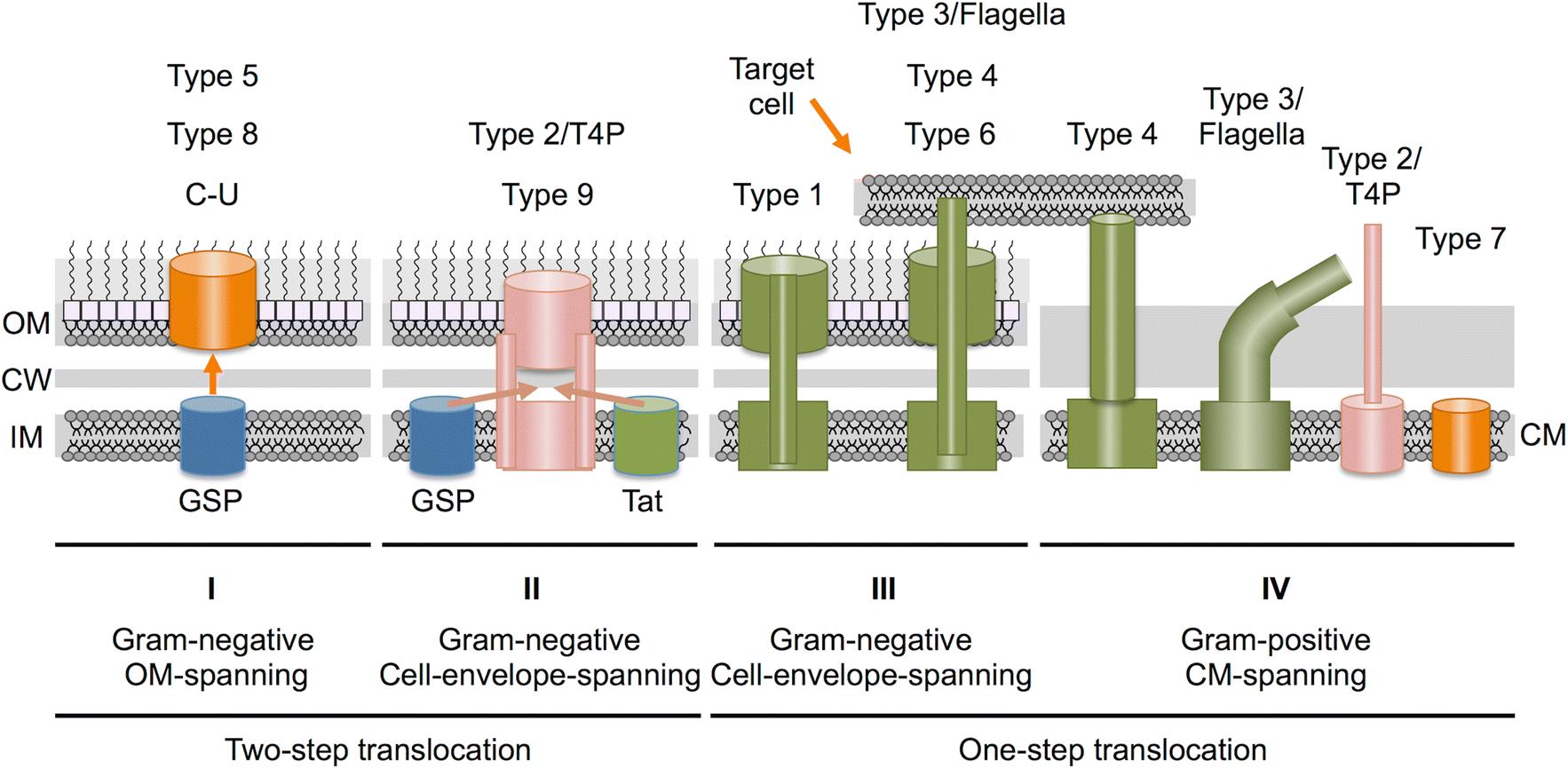The Rich Tapestry of Bacterial Protein Translocation Systems