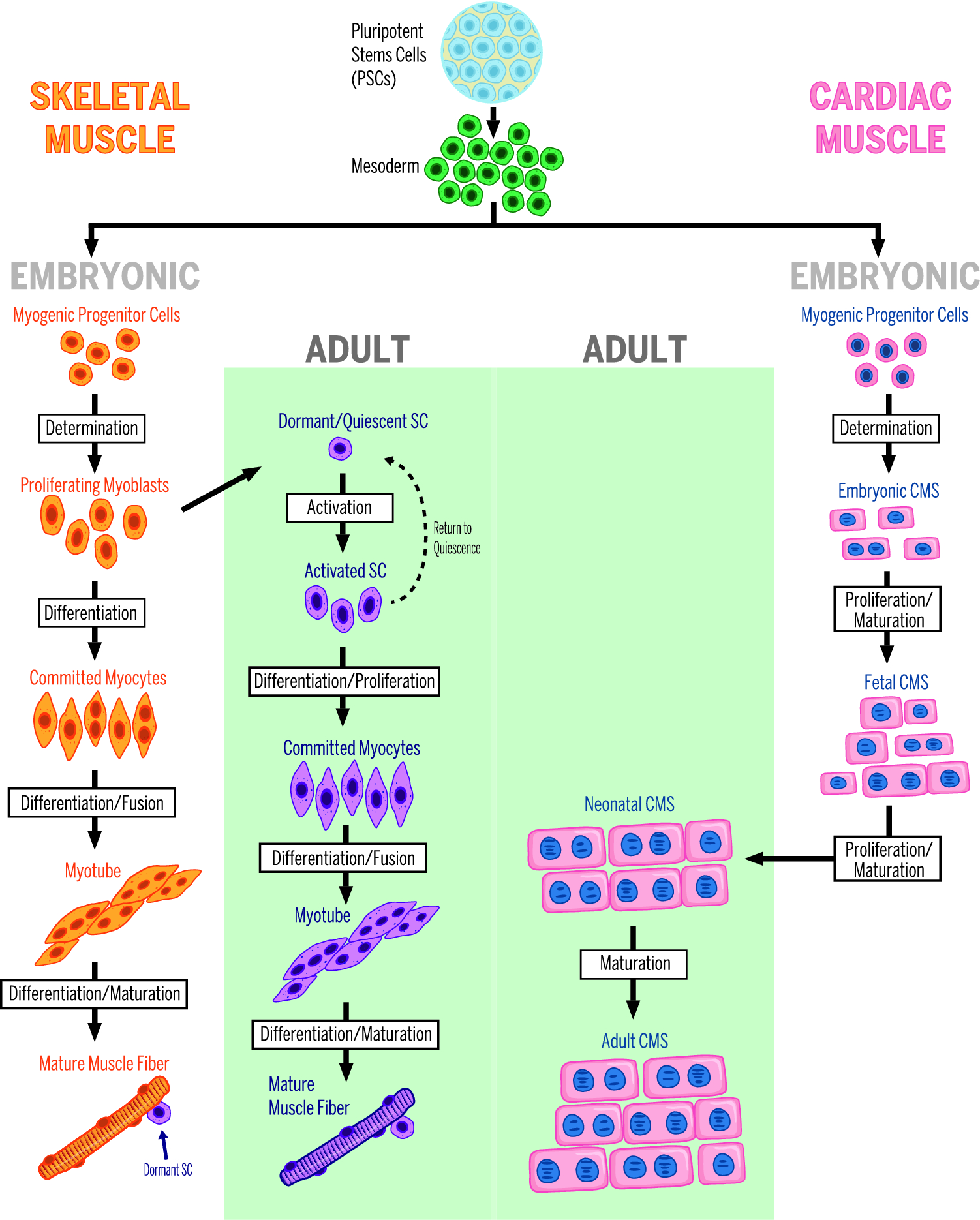 Cardiomyocyte nuclearity and ploidy: when is double trouble