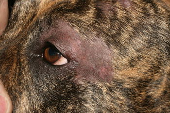 Non-dermatophyte Dermatoses Mimicking Dermatophytoses in Animals