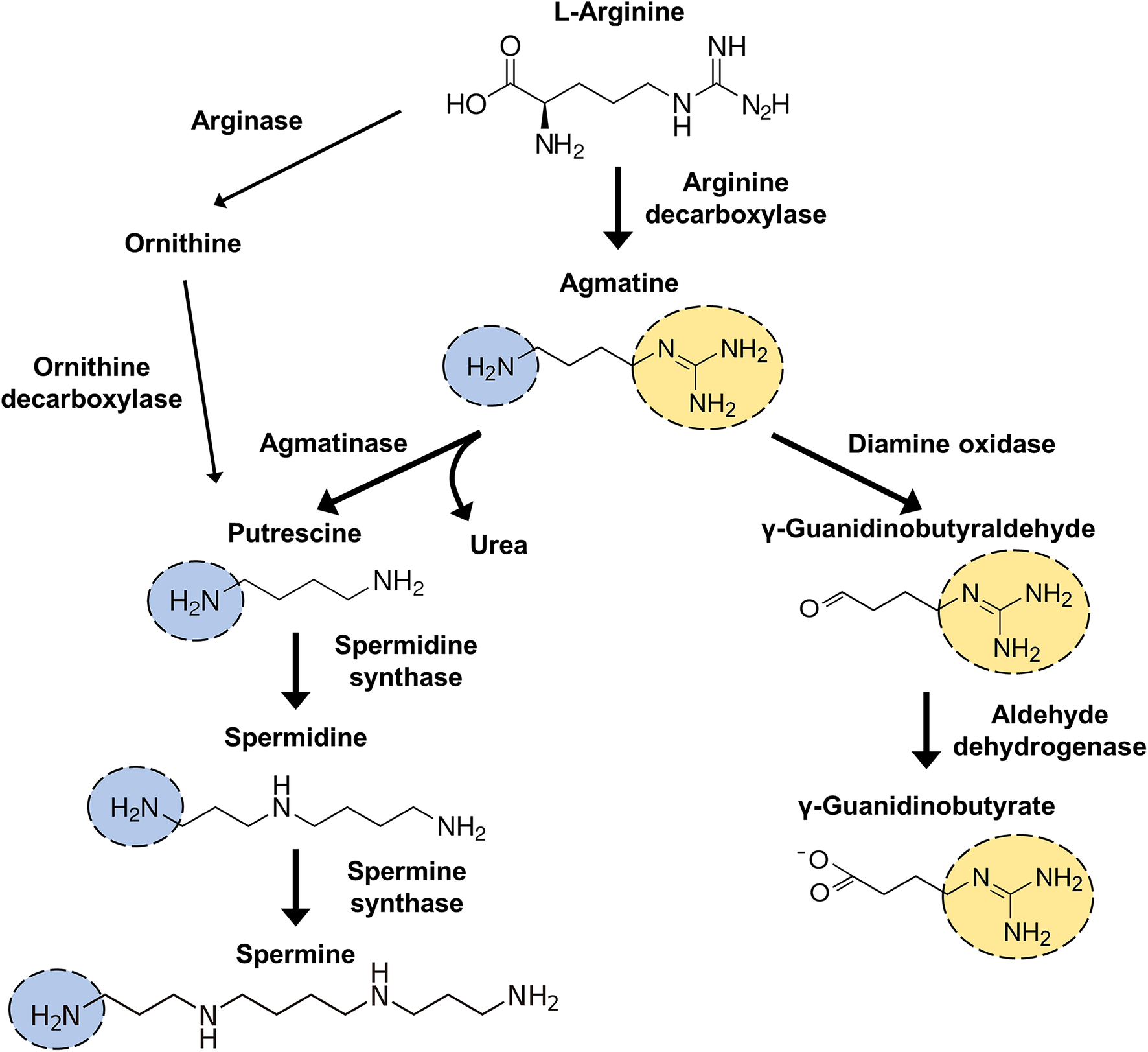 Agmatine Clonidine