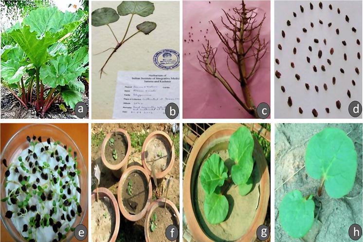 Rheum australe, an endangered high-value medicinal herb of North