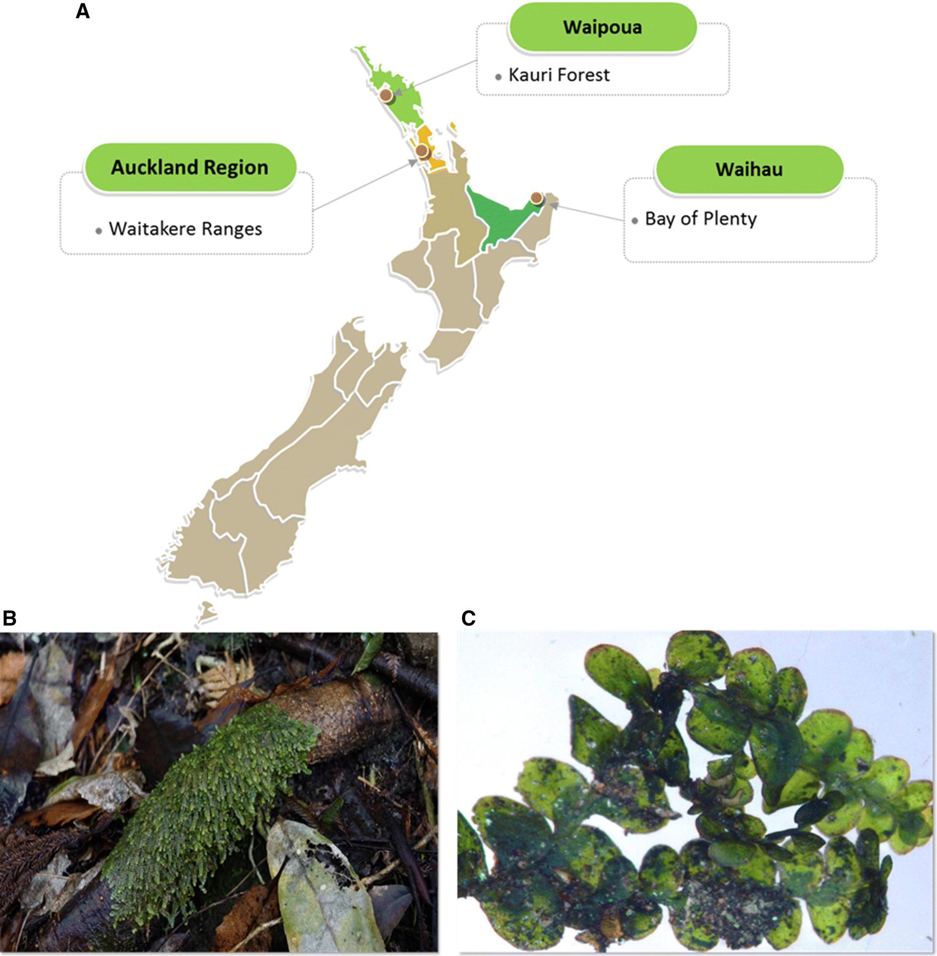 Demystifying the liverwort Radula marginata, a critical