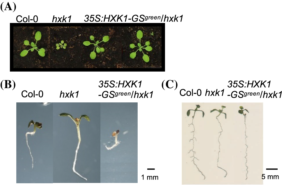 2413c480b61b The role of HEXOKINASE1 in Arabidopsis leaf growth