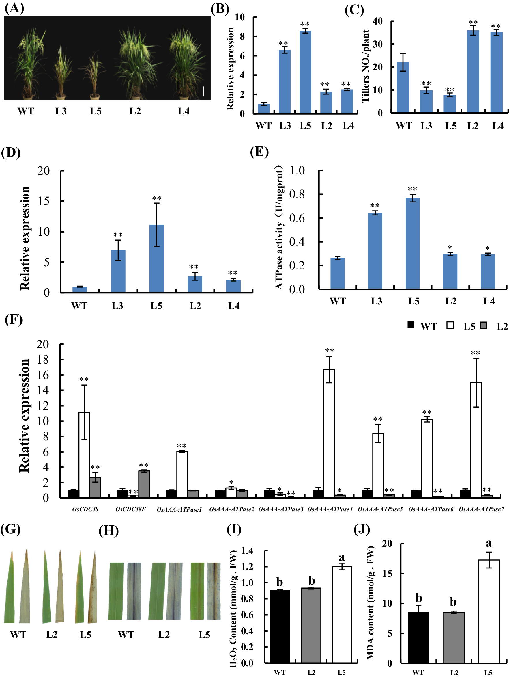 OsCDC48/48E complex is required for plant survival in rice